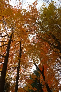 Fall Photo Tips: Include a New Point of View. Look up into the trees and use the filtered light to capture a new point of view.