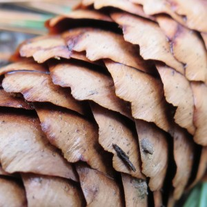 Fall Photo Tips: Include three points of view. From close-up to Macro. Pine cone, very close to see the details.