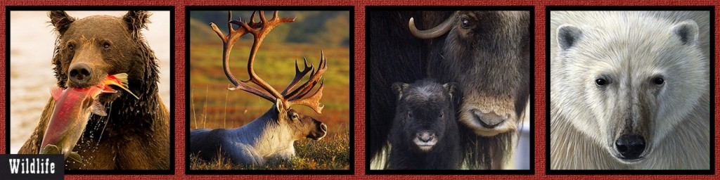 MM Alaska Wildlife